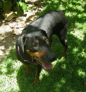 Rottweiler-Doberman mix, La Ceiba, Honduras
