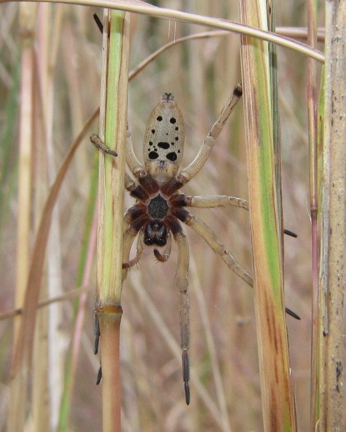 """Dotted Wolf Spider Illinois Female """"dotted Wolf Spider"""