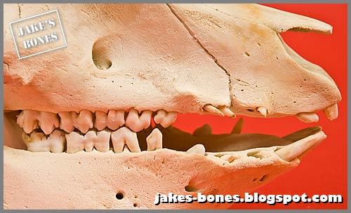 My Pig Skull Jakes Bones
