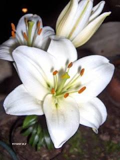 HPIM1987 Azucenas blancas