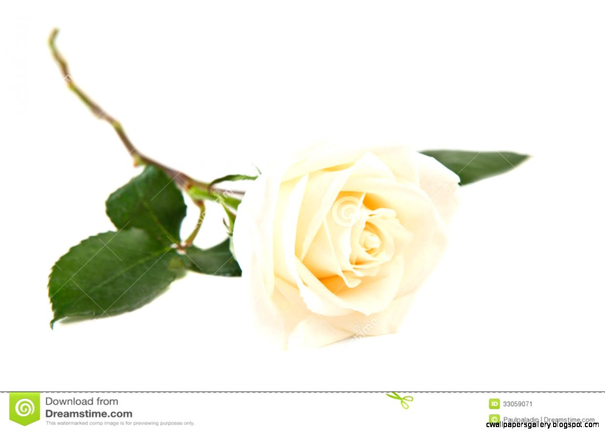 Single White Rose Stock Image   Image 33059071