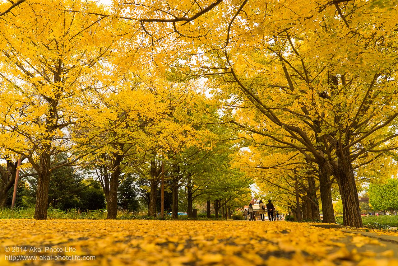銀杏並木の紅葉