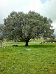 Encina en el Arroyo de la Lancha