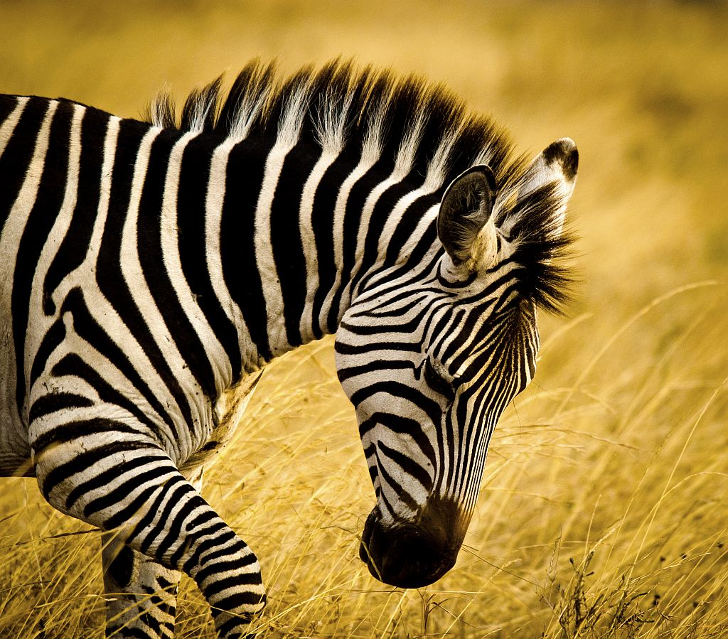Elsen Karstad's 'Pic-A-Day Kenya': Zebra- Nairobi Park, Kenya