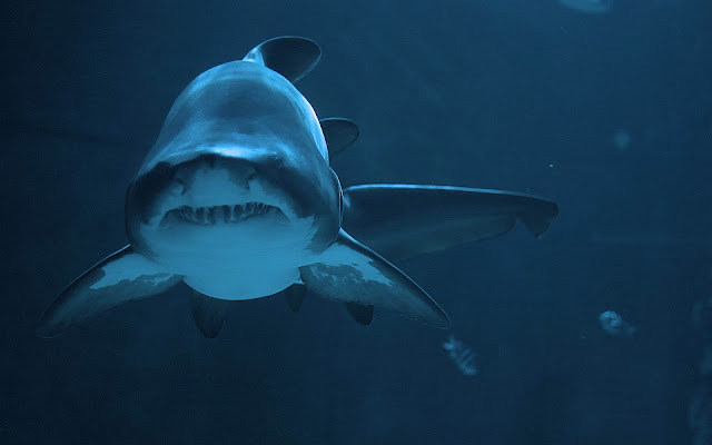 Picture of a dangerous shark underwater