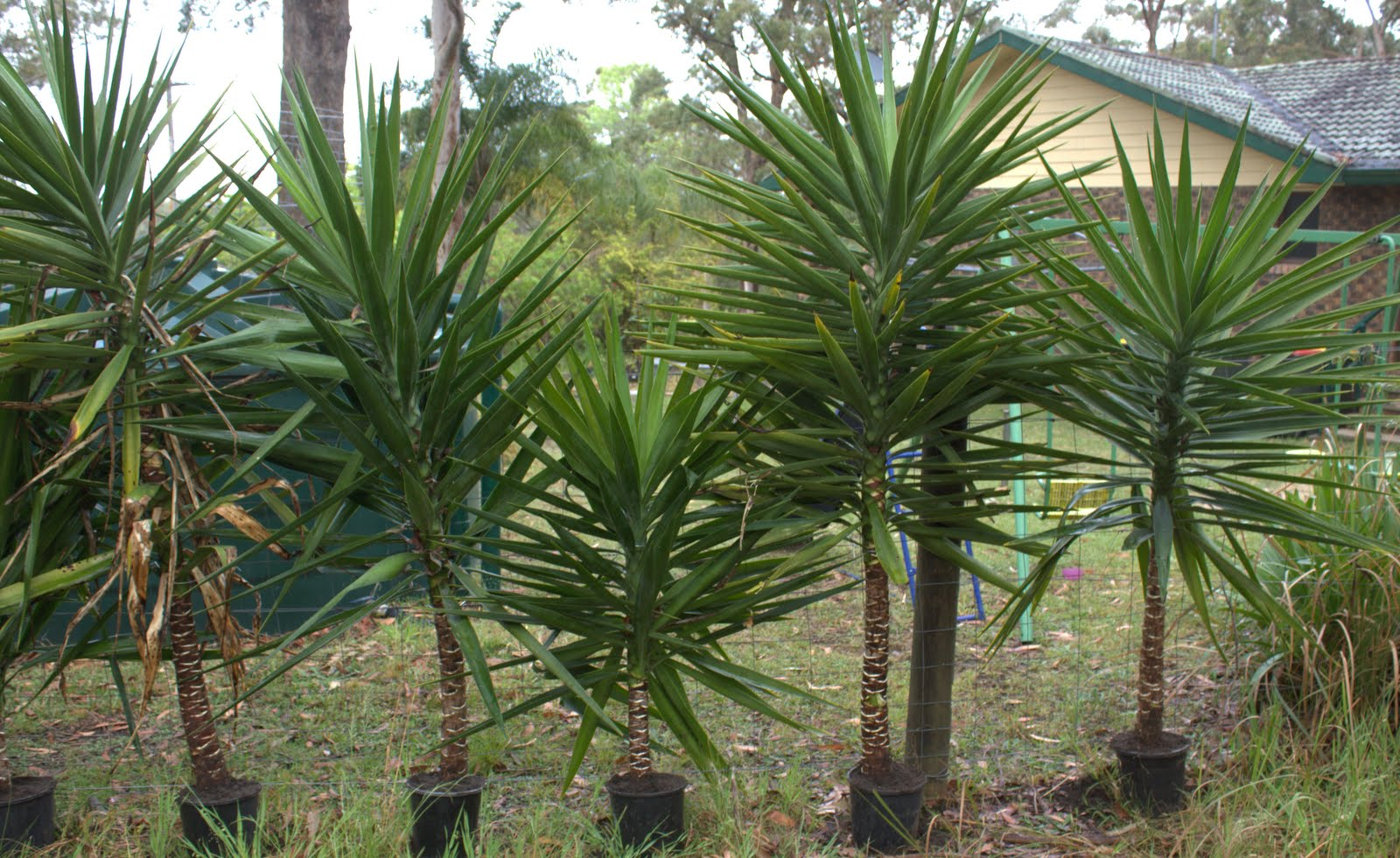 how to cook yucca plant