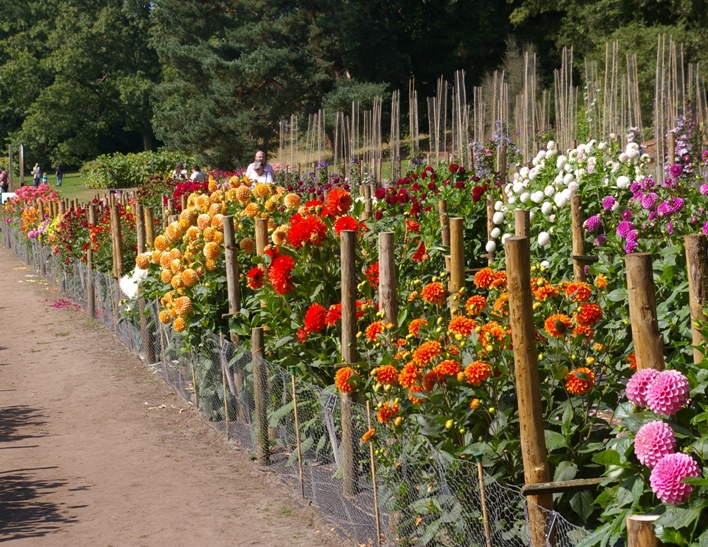 The Dahlia Trial On The Portsmouth Field At Wisley: Plants Grown To  Perfection.