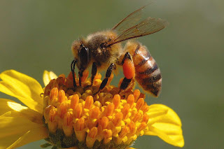 Insanity - US Approves Bee Death Pesticide as EU Bans It