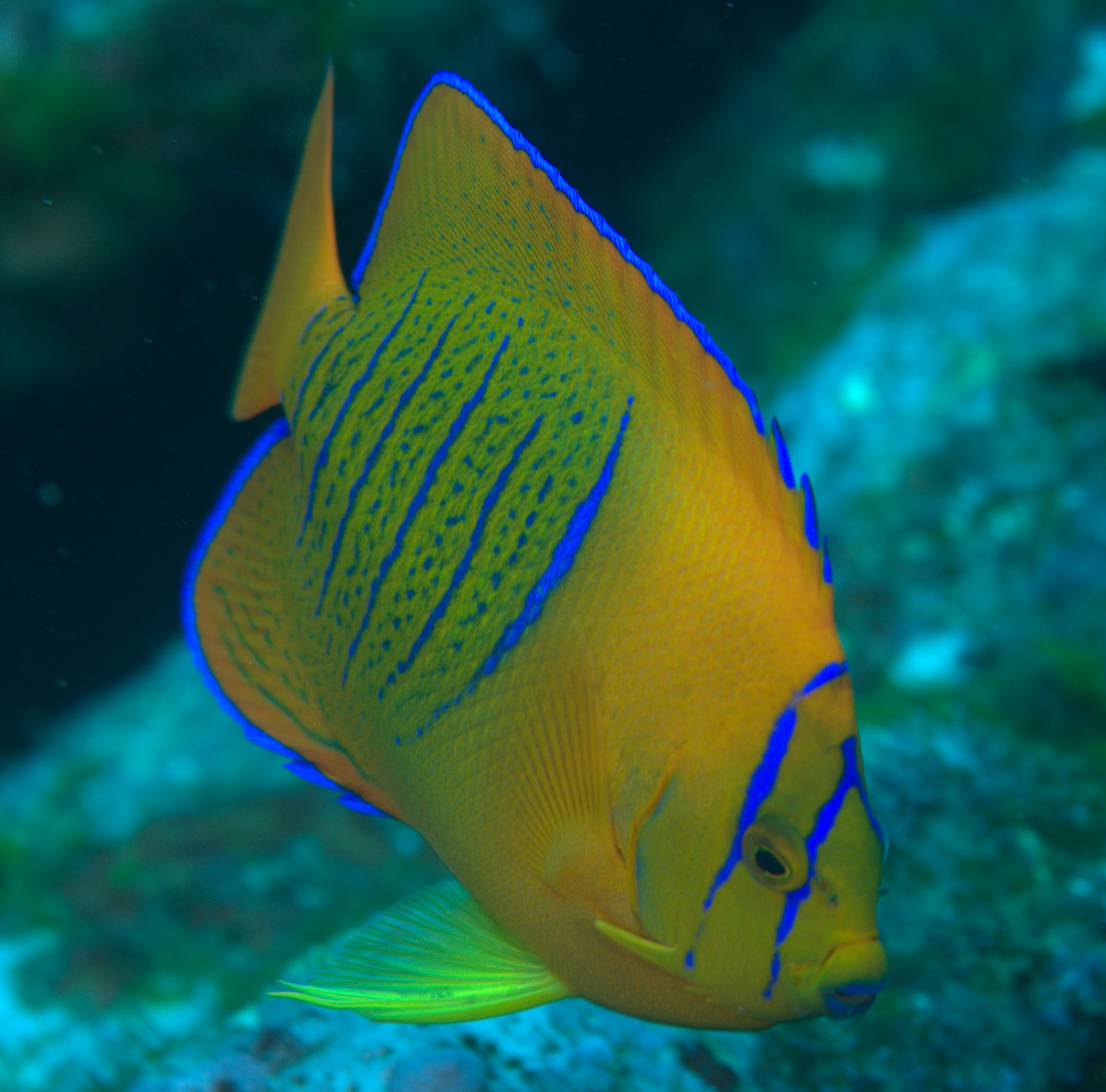 under pressure world: Clarion Angelfish (juvenile)- Socorro ...
