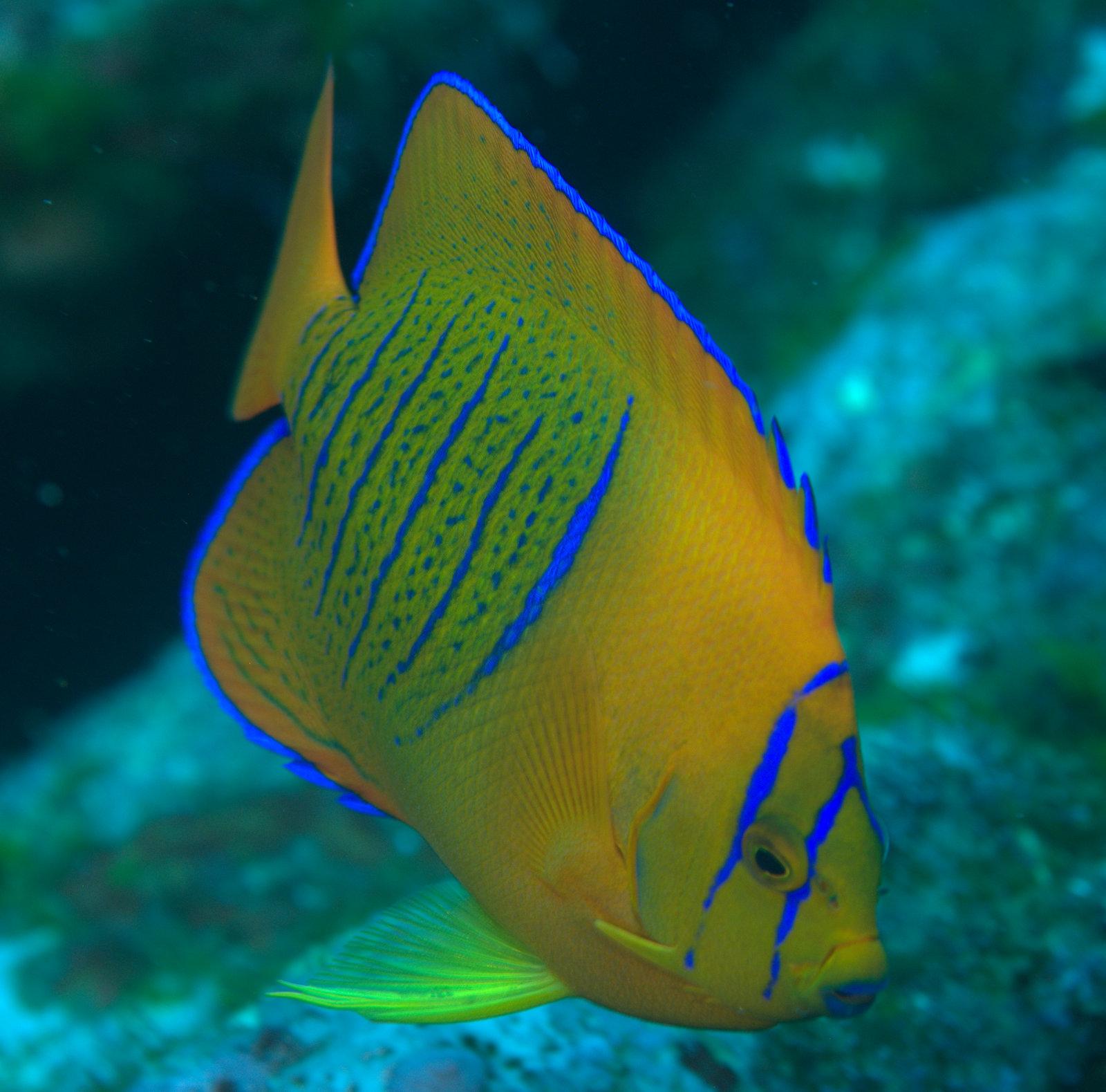 under pressure world: Clarion Angelfish (juvenile)- Socorro ...