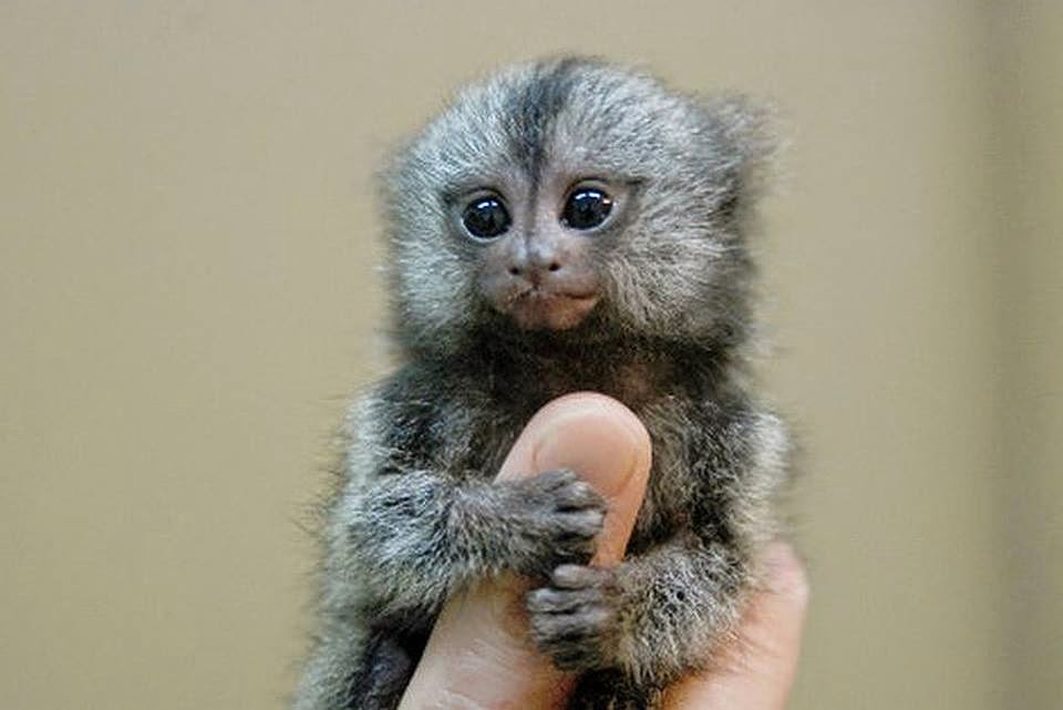 cute pygmy marmoset also known as finger monkey