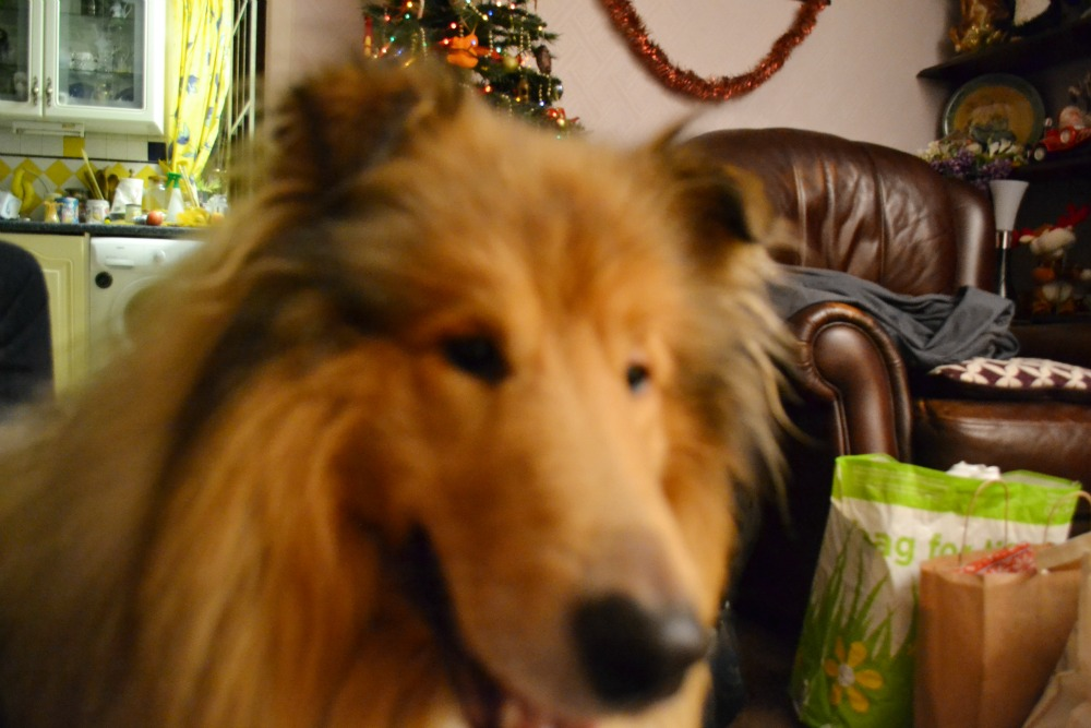rough collie dog christmas happy