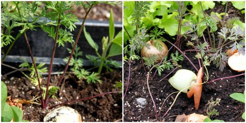 gulerødder, gulerodsfluer