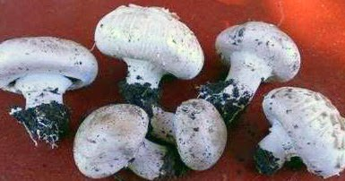 champignons selber anbauen champignonanbau auf einem dachbeet. Black Bedroom Furniture Sets. Home Design Ideas