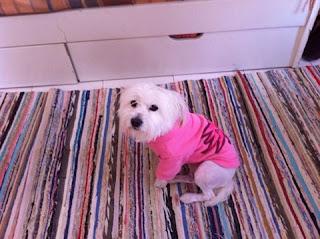Χαθηκε στις 28/10/15 στην περιοχη Βυρωνα κοντα στην οδο Καραολη-Δημητριου ημιαιμο γκριφον τεριε με ροζ κολαρο