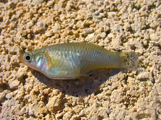 Actinopterygii_Cyprinodontiformes_Poecil