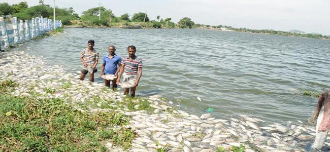 Tonnes of dead fish wash ashore in Pedda Cheruvu India