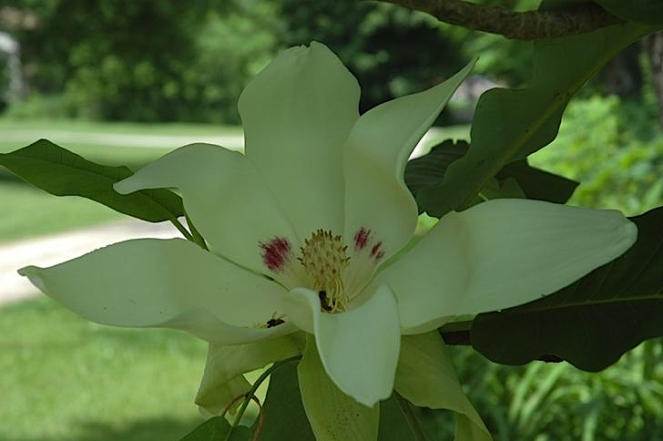 Field biology in southeastern ohio woody plant blooms spring summer umbrella magnolia magnolia tripetala above and big leaf magnolia m macropylla below the flowers mightylinksfo