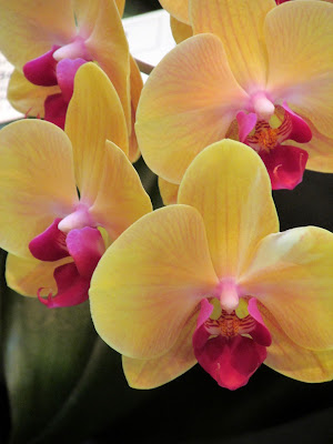 Yellow orchids with rose centers