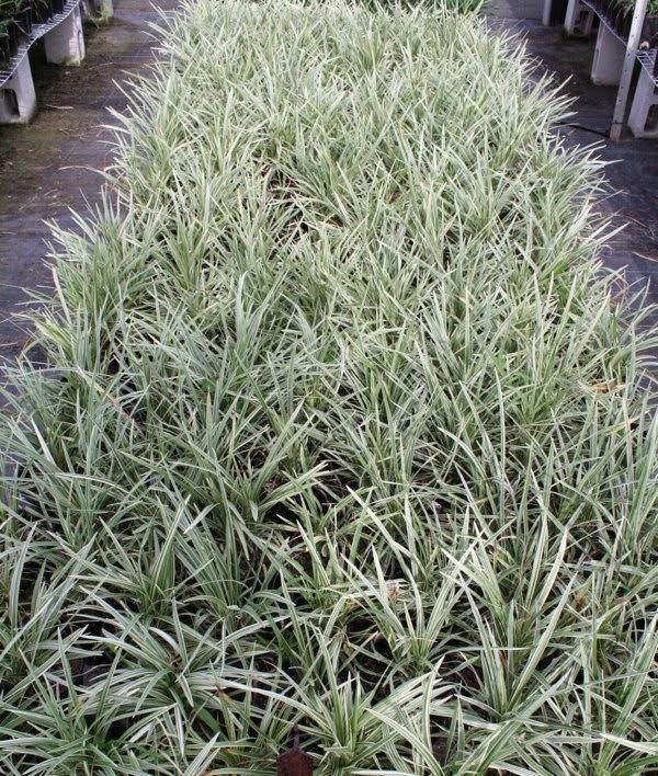 Jual pohon alang-alang putih | suplier tanaman | tanaman hias | jasa desain taman