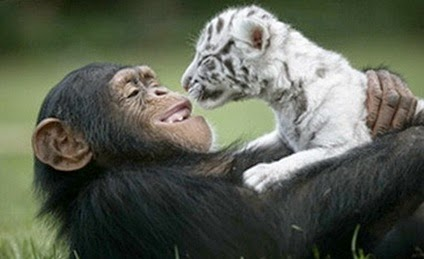 Simpanse dan Kucing