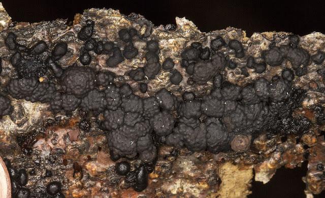 Hypoxylon multiforme (Birch Woodwart).  High Elms, 29 December 2012.