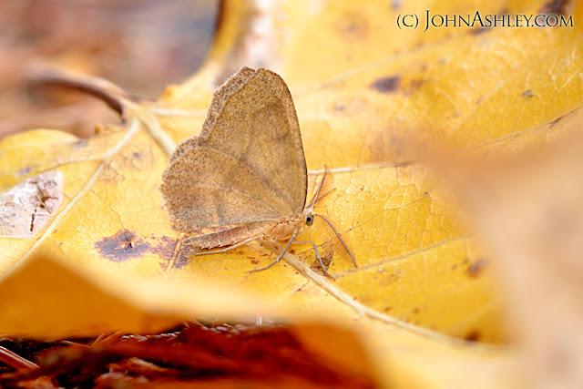 Hemlock Looper moth on a cottonwood leaf (c) John Ashley