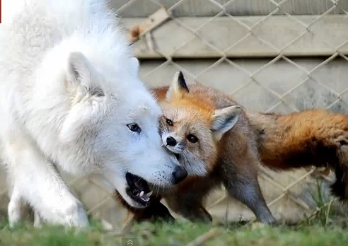 White Wolf Arctic Wolf And Fox Form Unusual Friendship
