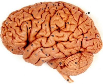 Top 5 Human Brain Facts Revealed