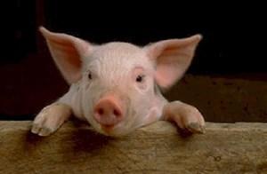 6 Fakta Mengapa babi Tak Layak di Konsumsi yang Belum Banyak Diketahui Orang