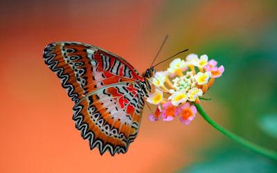 Mariposa recolectando la miel de las flores en primavera - Butterfly