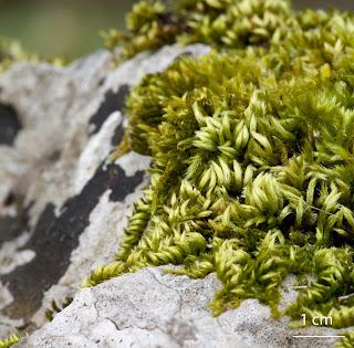 Musgo Homalothecium sericeum de la familia Brachytheciaceae sobre roca caliza