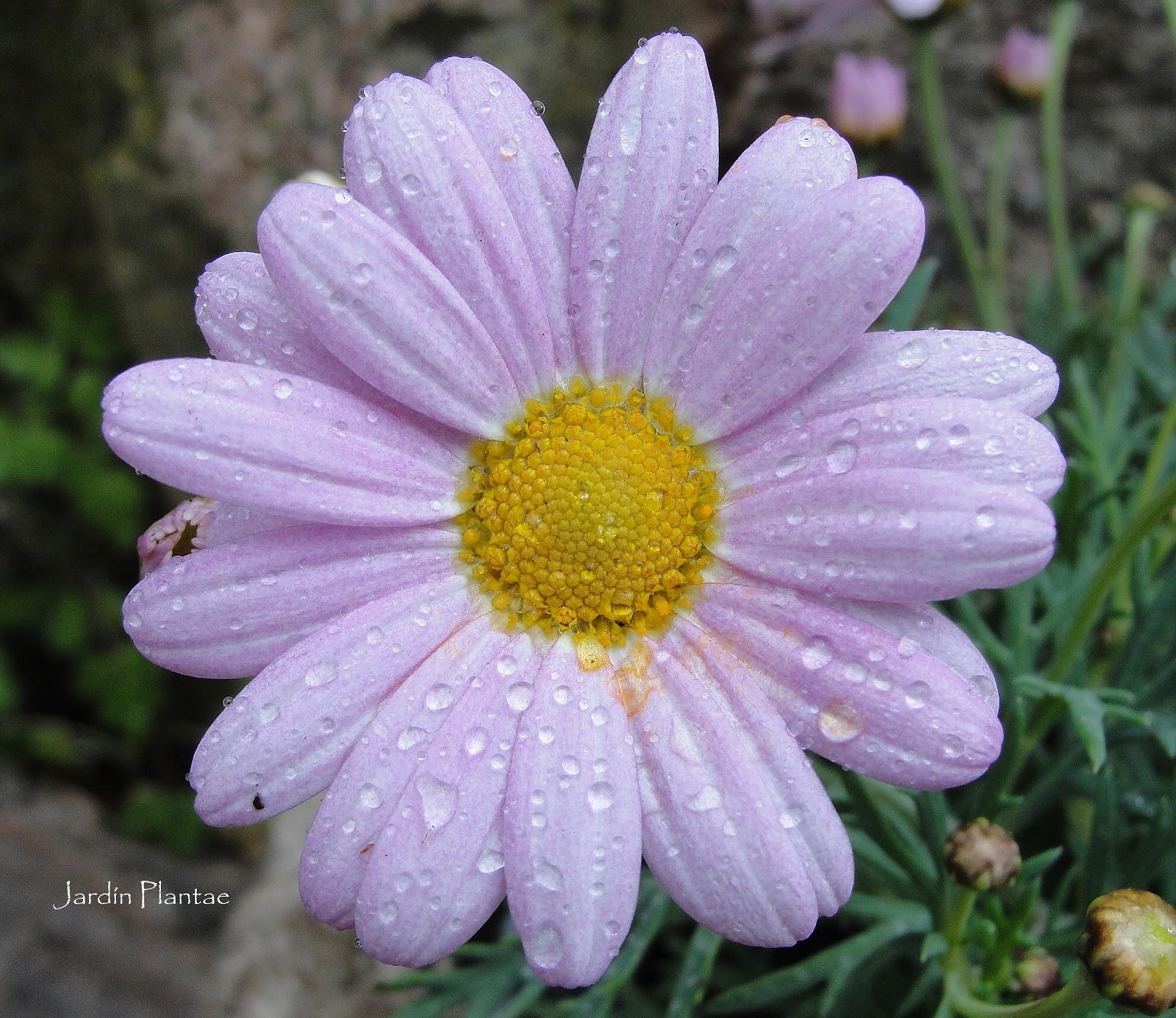 Jardiner a plantae crisantemos - Como cultivar crisantemos ...
