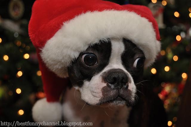 Funny dog santa