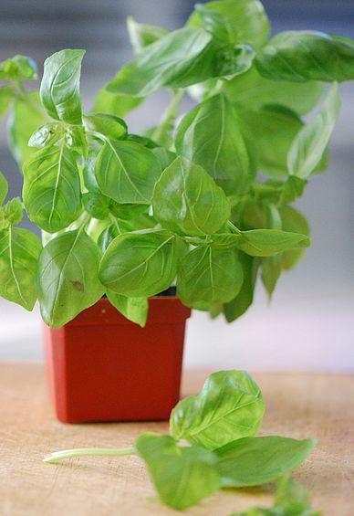 Come coltivare basilico in vaso o nell 39 orto cucina green for Basilico vaso