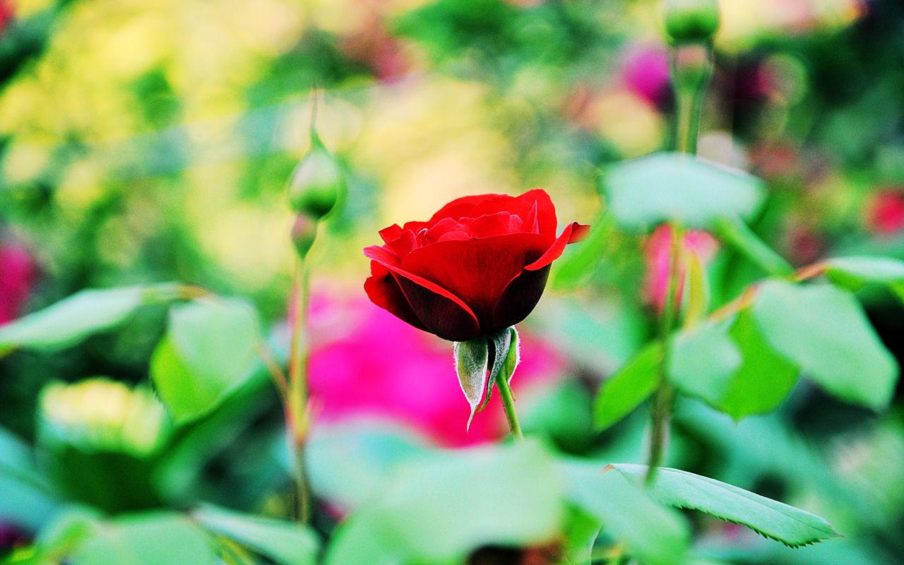 Una rosa roja hermosa the image kid has it for Fotos de jardines