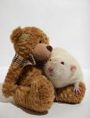 ratos e ursinhos de pelúcia fotos de ratinhos como você nunca viu eu adoro morar na internet