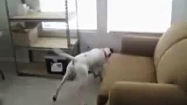 Pointeur laser sur le collier d'un chien, comment rendre un chien fou