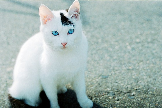 blue  eyes  cat  cute  white  cat  kittenCute White Cat Blue Eyes
