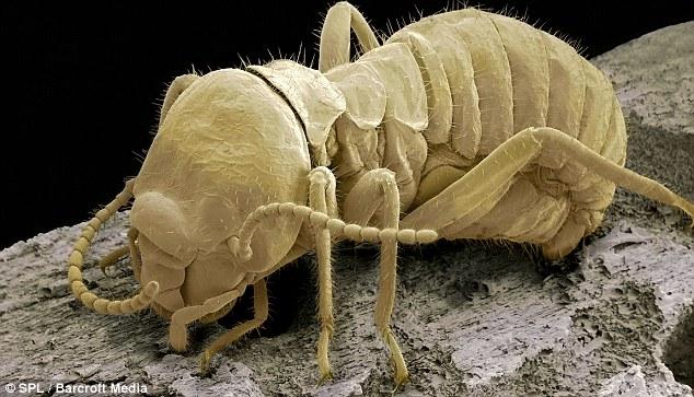 Gambar-gambar mikro serangga di rumah