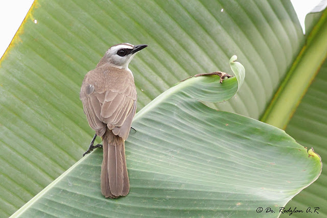 Bulbul on Banana leaf