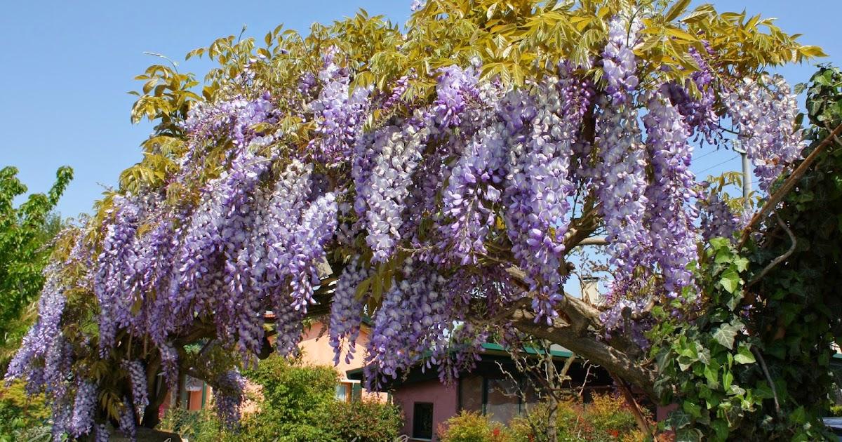 Il Piccolo Giardino Di L.: Non Cu0027è Primavera Che Si Rispetti Senza Il  Glicine