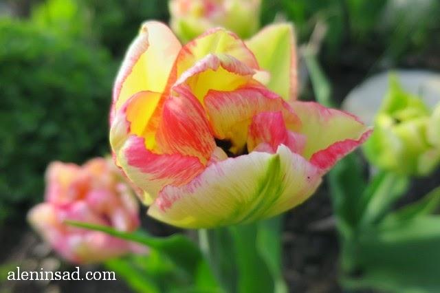 Cartouche, картуш, сорта тюльпанов, тюльпан, аленин сад, весенние луковичные