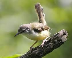 burung kicau