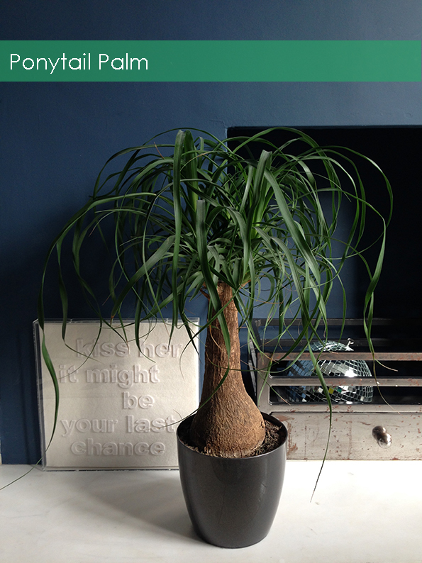 A Ponytail Palm in designer Bianca Halls London home. www.frenchforpineapple.com