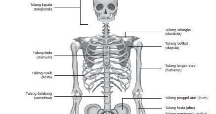 Quota Era Una Cosa Divertente: Fungsi Sistem Tulang Rangka ...