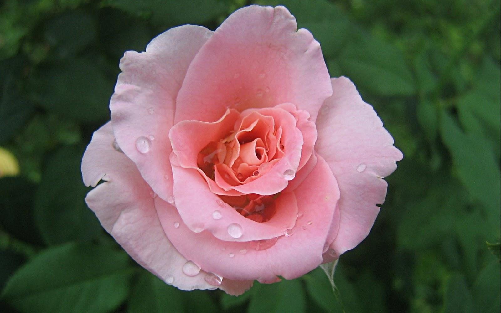 http://3.bp.blogspot.com/-JhXbZvewhGY/TvhgZYlWShI/AAAAAAAAA7I/aYsSuktiLyQ/s1600/pink_rose_wallpaper_2996.jpg