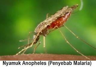 Nyamuk Malaria Anopheles