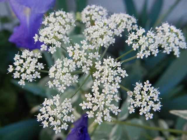 bishops weed flower perennial gardening rocky mountains montana