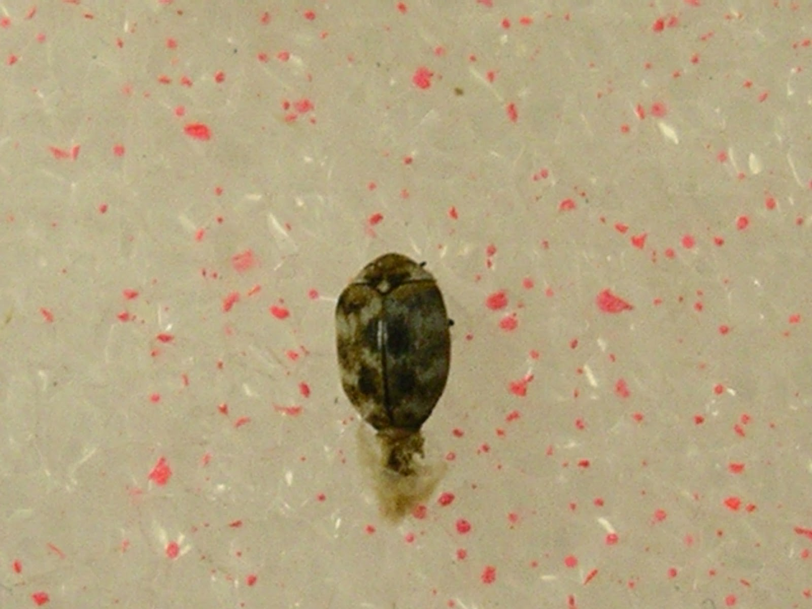 Carpet beetle adult. Urban IPM  Carpet beetles   not bed bugs
